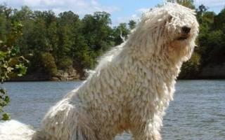 Собаки с дредами — обзор пород с названиями и фото