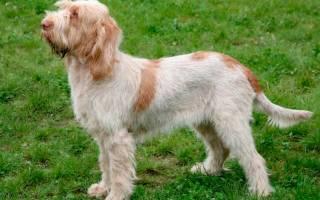 Спиноне итальяно: стандарт породы, особенности внешности итальянской собаки, фото