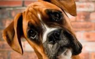 Немецкий боксер — фото, описание породы, особенности этих собаки, отзывы