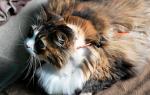 Панкреатит у кошек: Как вылечить вашу кошку и поддержать здоровье