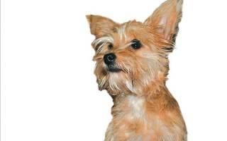 Московский дракон: стандарт и особенности собаки, внешний вид и характер, условия содержания