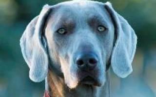 Веймаранер (веймарская легавая) — фото, описание породы собак, характер