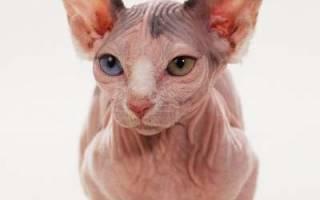 Минскин: фото кошки, цена, описание породы, характер, видео, питомники