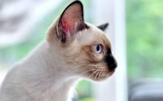 Меконгский бобтейл: фото кошки, цена, описание породы, характер, видео, питомники