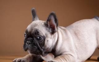 Как воспитывать французского бульдога — правила дрессировки и воспитания щенка и взрослой собаки
