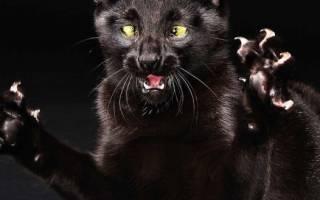 Бешенство у кошек и котов: симптомы, первые признаки, опасность для человека, инкубационный период, профилактика