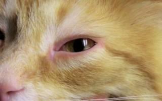 Конъюнктивит у кошек и котов: причины его появления и лечение у взрослых животных и котят