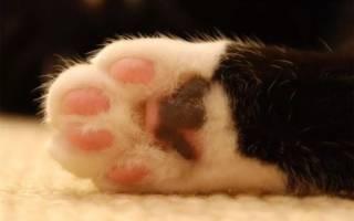 Удаление когтей у кошек: особенности процедуры, последствия удаления когтевых фаланг и отзывы хозяев