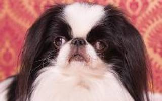 Японский хин: стандарт и описание породы, характер этих собак, особенности содержания и воспитания, цены на щенков, отзывы и фото