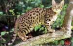 Серенгети кошка: фото, цена, описание породы, характер, видео, питомники