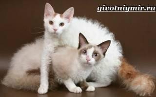Лаперм: фото кошки, цена, описание породы, характер, видео, питомники