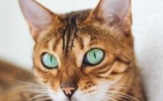 Бенгальская кошка: характер, сколько стоит содержание [фото и видео, цена]