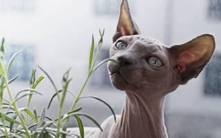 Породы кошек которые не линяют [фото + список пород]