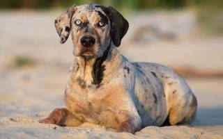 Леопардовая собака Катахулы: стандарт, уход, воспитание, цены на щенков, фото и отзывы