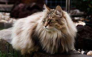 Самые умные породы кошек: Топ 10 с фото и названиями