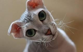 Украинский левкой: описание внешности и характера, уход за питомцем и его содержание, выбор котёнка, отзывы владельцев, фото кота