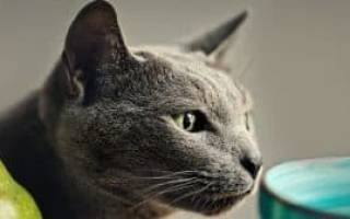 Чем кормить русскую голубую кошку: 5 лучших кормов + натуральное питание