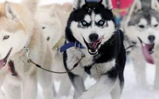 Ездовые породы собак с фотографиями и названиями