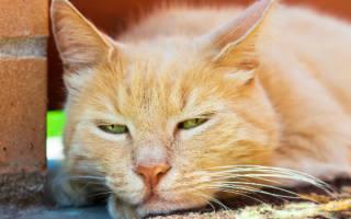 Пропал голос у кота или кошки: почему и что делать