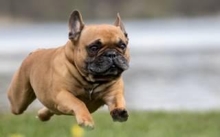 Разновидности бульдогов — фото и названия видов пород собак с описанием