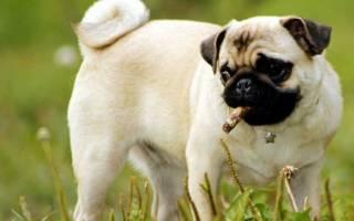 Сколько лет живут мопсы в домашних условиях — что влияет на продолжительность жизни собак