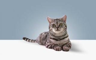 Порода кошки из рекламы Вискас: фото, виды. Цена на кота в рекламе Whiskas