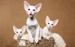 Белые кошки с голубыми глазами: фото кота и разновидности пород подобной внешности, уход за питомцами и их содержание