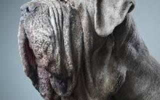 Мастино неаполитано (неаполитанский мастиф) — фото, описание породы собак, характер