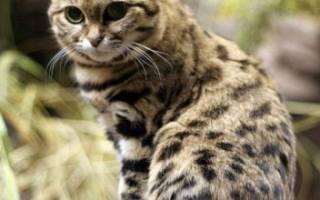 Дикий африканский кот: описание внешности и характера, ареал обитания, размножение и жизнь в неволе