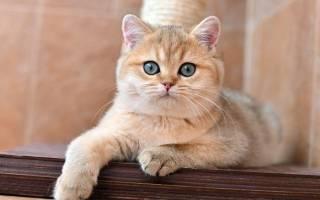 Кошка британская шиншилла: характер и внешность кота, уход за питомцем и его содержание, выбор котёнка и фото золотого британца