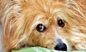 Длинношерстные породы собак с фотографиями и названиями