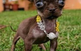Самая маленькая собака в мире — порода собачки, фото