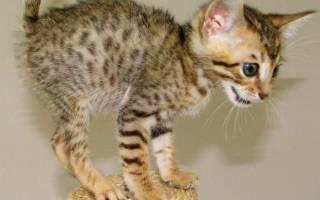 Кошки серенгети: описание внешности и характера, уход за питомцем и его содержание, выбор котёнка, отзывы владельцев, фото кота