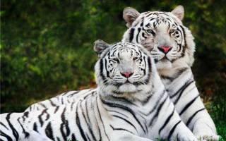 Дикие кошки: ареал обитания, размножение, названия видов, фото представителей хищного семейства кошачьих, разновидности хищников