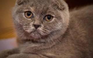 Шотландская вислоухая кошка: описание породы скоттиш фолд, характер и окрас котика, фото кота, кормление шотландца и уход за котёнком