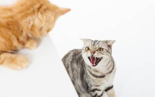 Работающие советы как подружить кошек: кот и кошка, котенок