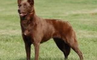 Короткошерстные породы собак с фотографиями и названиями