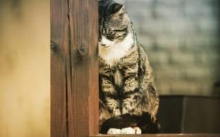 Панкреатит у кошек: симптомы, профилактика и лечение