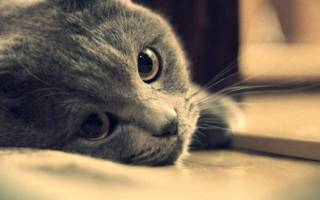 Эклампсия у кошек (послеродовая и при беременности): причины, симптомы, лечение и профилактика