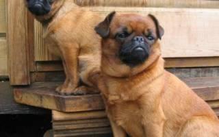 Пти-брабансон — фото собак, описание породы, отзывы владельцев