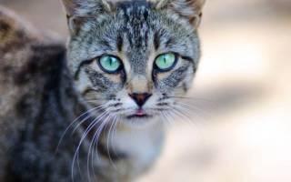 Опухла нижняя губа у кошки или кота: причины и лечение