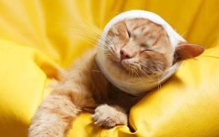 Инсульт у кошек: симптомы и лечение, как помочь животному