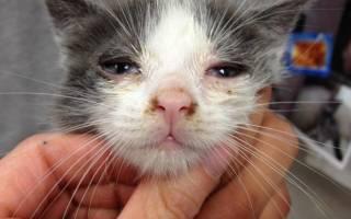 Ринотрахеит у кошек: симптомы, лечение, профилактика
