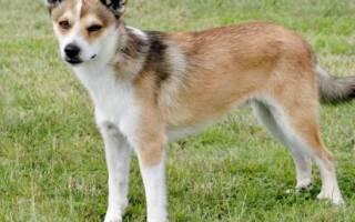 Лундехунд — стандарт породы, как содержать и ухаживать за норвежской собакой, выбор щенков и дрессировка, цены, фото и отзывы