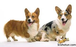 Вельш-корги кардиган и пемброк — отличия, фото пород собак