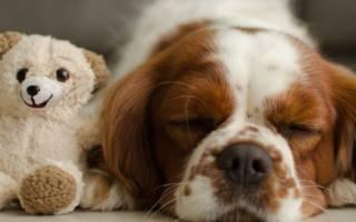 Порода собак, похожая на медвежонка — название, фото, описание