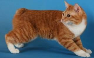 Кошка бобтейл: разновидности и особенности породы, фото кота и его характеристика, уход за питомцем и содержание дома