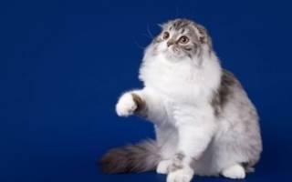 Хайленд фолд: фото кошки, цены, описание породы, характер, видео, питомники