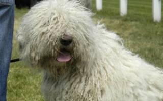 Комондор (венгерская овчарка) — фото собаки, описание породы, характер, особенности содержания