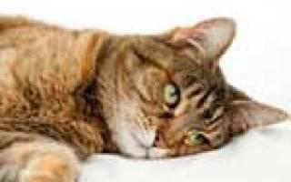 Цистит у кошек и котов [руководство по лечению]